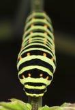 Shallowtail larvae feeding. (Papilio Machaon) Stock Images