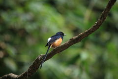 Shama Blanc-rumped Photo stock