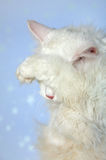 A shame or shyness. The white cat has hidden eyes a paw. A shame or shyness Stock Images