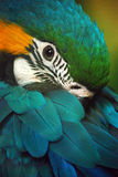Shamed blue and gold macaw Royalty Free Stock Photos