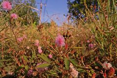 Shameplant, pnący rocznik lub odwiecznie ziele grochowa rodzina, Obrazy Stock