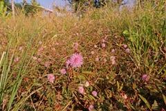Shameplant, pnący rocznik lub odwiecznie ziele grochowa rodzina, Fotografia Royalty Free