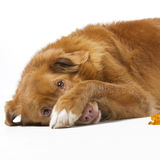 Shaming novia scotia duck tolling retriever Royalty Free Stock Images