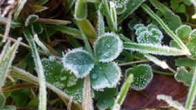 Shamrock в зиме Стоковые Изображения RF
