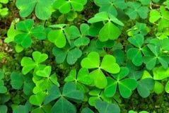 Shamrock. Green shamrock (Oxalis acetosella) background Royalty Free Stock Photo