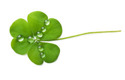 shamrock Obraz Royalty Free