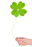 Shamrock. A big shamrock hold in hand royalty free stock photos