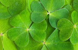 Shamrock Royalty Free Stock Photo