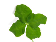 Shamrock Fotos de Stock Royalty Free