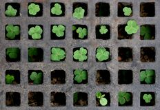 Shamrock chess. Lovely shamrocks royalty free stock photography