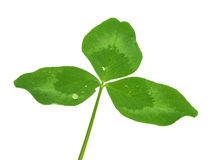 Shamrock clover isolated Royalty Free Stock Photo