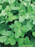 Shamrock clover leaves, st Patricks day card. Shamrock clover leaves, st Patricks day greeting card royalty free stock photography