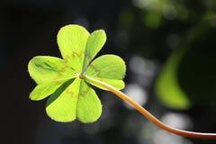 shamrock för bakgrundsväxt av släkten Trifoliumdark Royaltyfri Foto