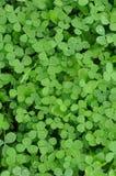 shamrock för bakgrundsväxt av släkten Trifoliumgreen Royaltyfri Fotografi