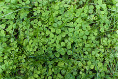 Shamrock with grass, top view. Royalty Free Stock Images