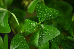 Shamrock leaf with water droplets Royalty Free Stock Photography