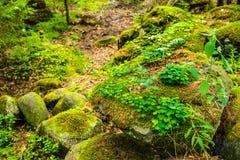 Shamrock na skale w lesie Zdjęcie Stock