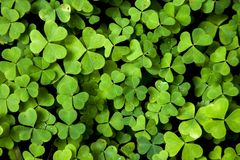 Shamrock natural background stock image