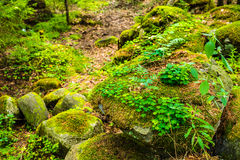 Shamrock on the rock in forest. Beoutyful summer forest with rocks and some plants Stock Photo