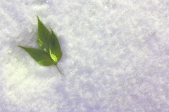 Shamrock in the snow on the left. Green leaves on a background of snow. Winter landscape Stock Image