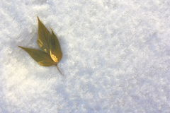 Shamrock in the snow on the left. Yellow leaves on a background of snow. Winter landscape Stock Image
