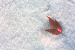 Shamrock in the snow on the right. Red leaves on a background of snow. Winter landscape Royalty Free Stock Images