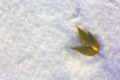 Shamrock in the snow on the right. Yellow leaves on a background of snow. Winter landscape Stock Image