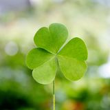 Shamrock - Three leaf clover Stock Photos