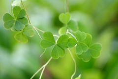 Shamrock-Three leaf clover Royalty Free Stock Images
