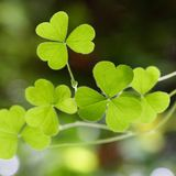 Shamrock - Three leaf clover's Royalty Free Stock Photography