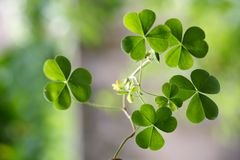 Shamrock - Three leaf clovers Stock Image