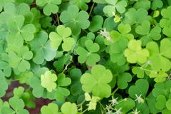 Shamrock-Three leaf clovers Stock Image