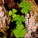 Shamrock - Three leaf clovers Stock Photo