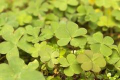 Shamrocks или предпосылка клевера в яркое ом-зелен Стоковое Фото