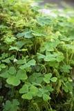 Shamrocks растя на мхе покрыли утес Стоковое Изображение