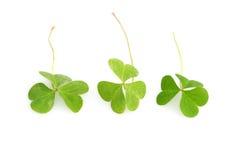 Shamrocks. For St. Patrick's day Royalty Free Stock Photo