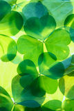 Shamrocks background details Stock Image