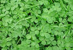Shamrocks and grass. Ground covered with green shamrocks and grass Royalty Free Stock Photos