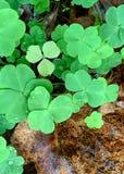 Shamrocks growing through the leaf litter stock photo