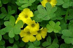 Shamrocks mit Blumen Lizenzfreies Stockfoto