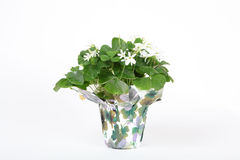 Shamrocks in pot on white. Background Royalty Free Stock Photo