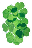 Shamrocks. St.Patricks day. Green three leaf clovers on an isolated white background extremely close-up and backlit with an easy clipping path Royalty Free Stock Image