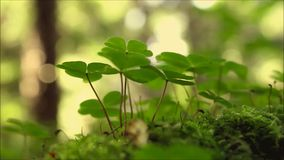 Shamrocks in the summer forest stock footage