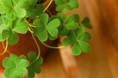 Shamrocks in Terracotta Planter Royalty Free Stock Images