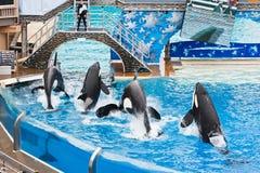 Shamu et d'autres épaulards chez SeaWorld photographie stock