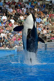 Shamu Killer Whale Royalty Free Stock Photography