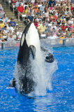 Shamu Killer Whale Royalty Free Stock Image