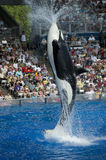 Shamu Killer Whale stock photography