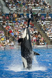 Shamu Killer Whale Sea World Performer royalty free stock photos