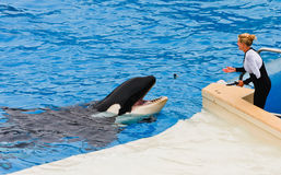 Shamu the Killer Whale at SeaWorld Royalty Free Stock Photography